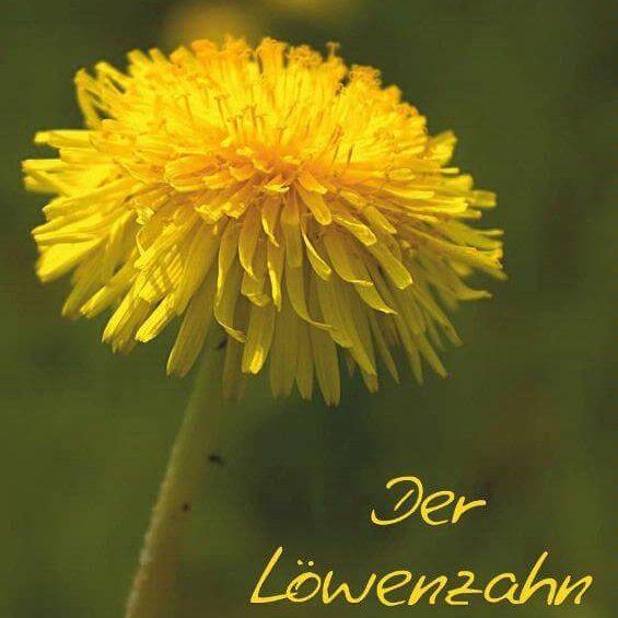 Der Löwenzahn - Posterbuch