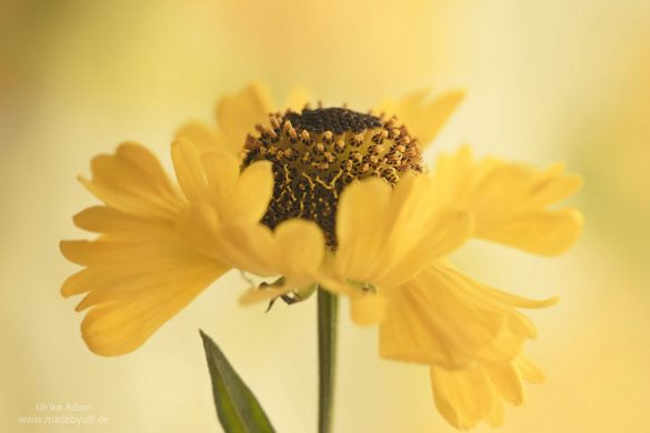 Gelbe Sonnenbraut (Helenium) - Blütentanz