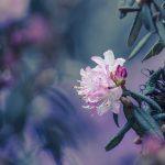 Rosa Rhododendron mit weichem Bokeh