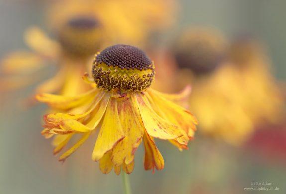 Sommerstaude - Gelbe Sonnenbraut