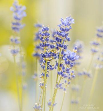 Lavendel Traum
