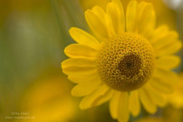 Gelbe Färberkamille (Anthemis tinctoria)