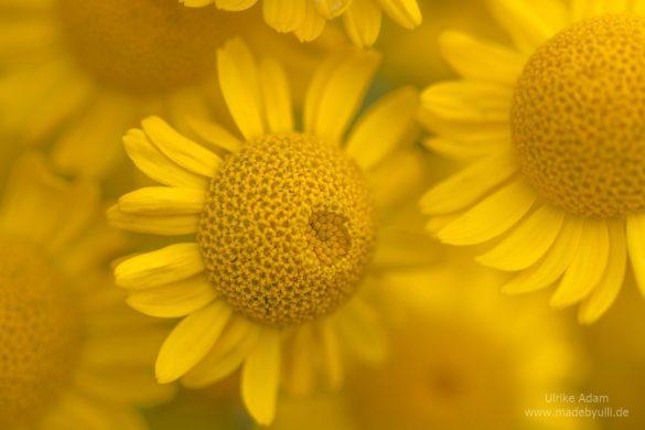 Färberkamille (Anthemis tinctoria) - Ein Traum in Gelb