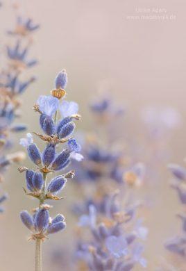 Lavendel - Gartenfreuden