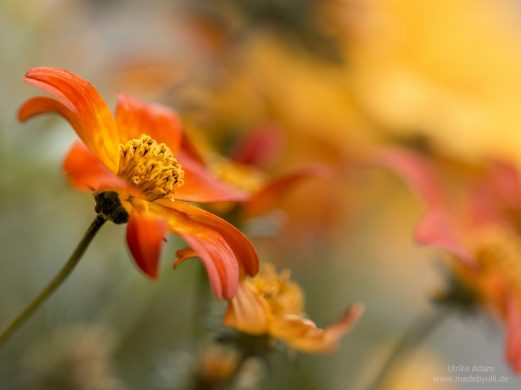 Orange Kosmeen (Cosmos)