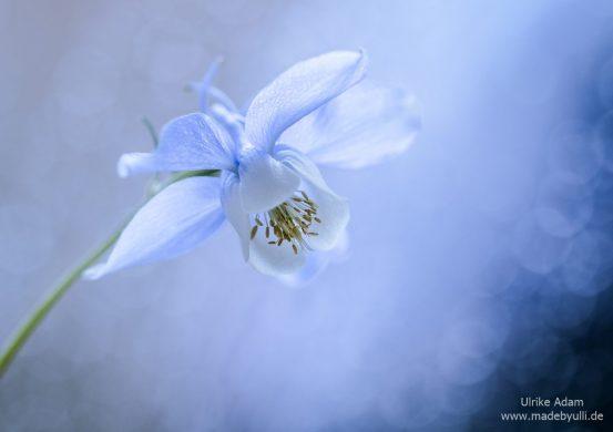Blau-weiße Akelei mit weichem Bokeh