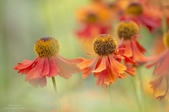 Gartenstaude Rote Sonnenbraut (Helenium)