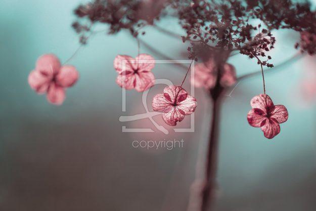 Hortensien im Herbst - Leinwand