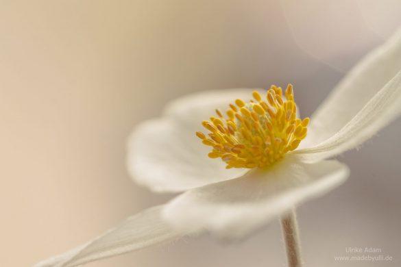Blüte der Japanischen Herbst-Anemone (Anemone hupehensis var. japonica)