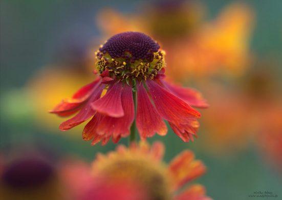 Rote Blüte der Sonnenbraut (Helenium)