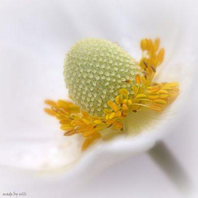Blütenstempel der Japanischen Herbst-Anemone (Anemone hupehensis var. japonica)