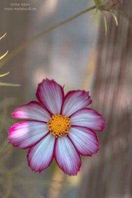 Schmuckkörbchen (Cosmos bipinnatus)