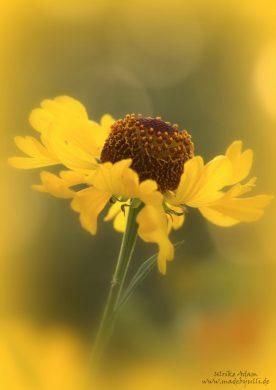 Gelbe Sonnenbraut (Helenium), lichtdurchflutet