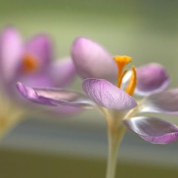 Rosa Krokusse in zartem Licht (Leinwand)
