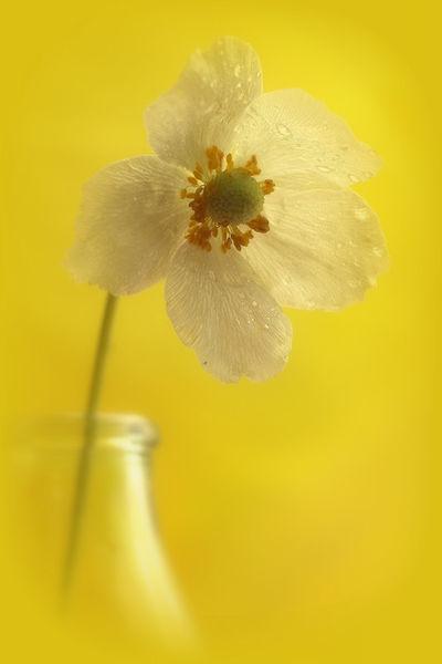 Weiße Anemone im gelben Gewand (Leinwand)
