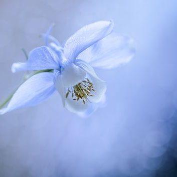 Blau-Weiße Akelei mit weichem Bokeh (Leinwand)