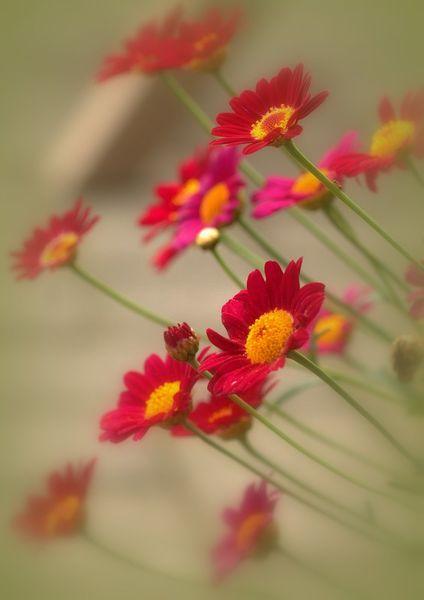 Rote Gänseblümchen - Leinwand