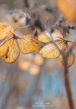 verbluehte-hortensien-vorschaubild